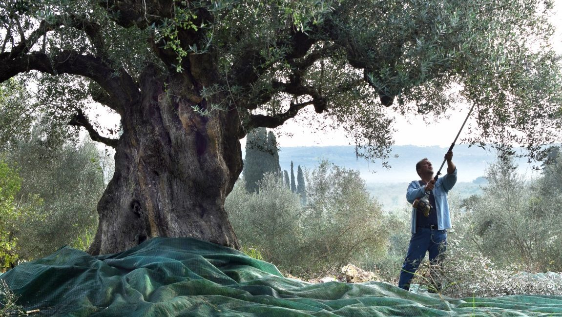 The myth of the olive tree