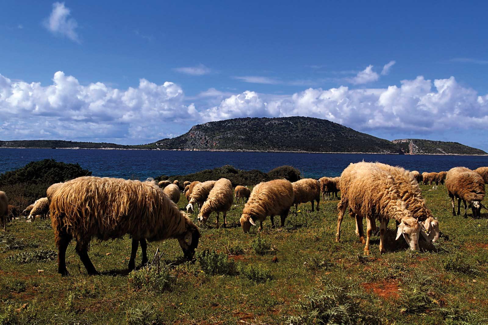 SHEEPS PROTI